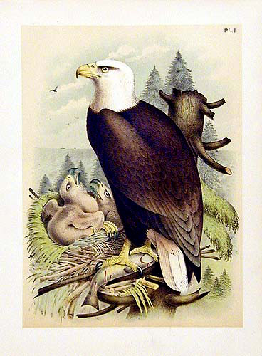 1889 American Birds Color Lithographs by Jacob Studer